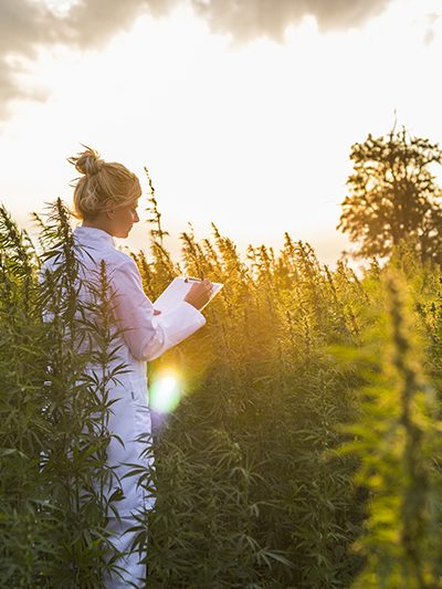 Scientist observing CBD hemp plants on marijuana field and taking notes. Medicinal and recreational marijuana plants cultivation.
